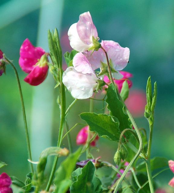 Nature, Plant, Garden, Summer, Petal, Pink, Lilac, Wild