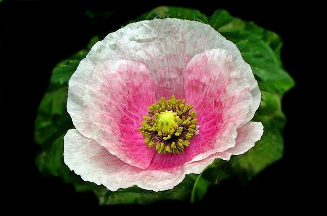 Flower, Plant, Poppy, Nature, Leaf, Petal, Closeup