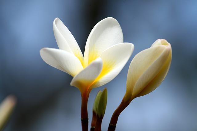 Plumeria, Petal, Flower, Nature, White, Tropical