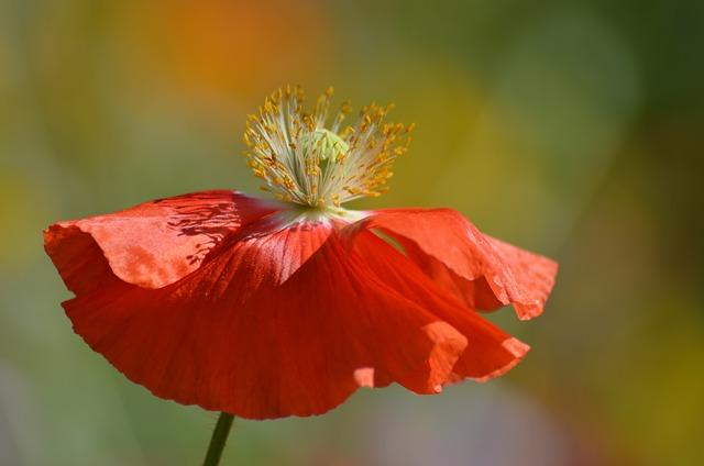 Nature, Flower, Plant, Petal, Klatschmohn, Pistil