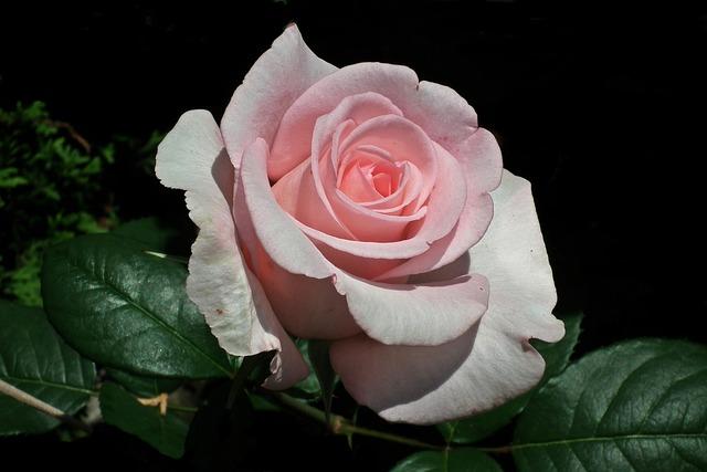 Flower, Rose, Pink, Petal, Love, Closeup