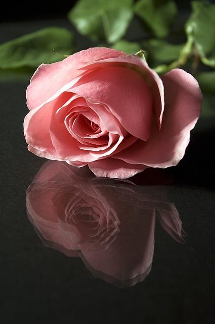Rose, Flower, Petal, Romance, Floral