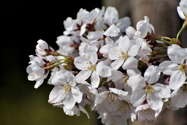 Natural, Landscape, Wood, Bud, Flowers, Petal, Cherry