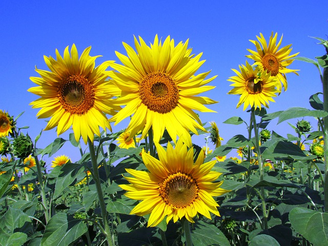 Sunflowers, Sunflower, Yellow, Petal, Petals, Flower
