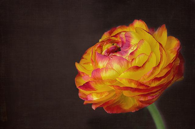 Ranunculus, Flower, Blossom, Bloom, Petals, Beautiful