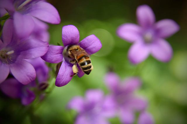 Bellflower, Bee, Insect, Blossom, Bloom, Nectar, Petals