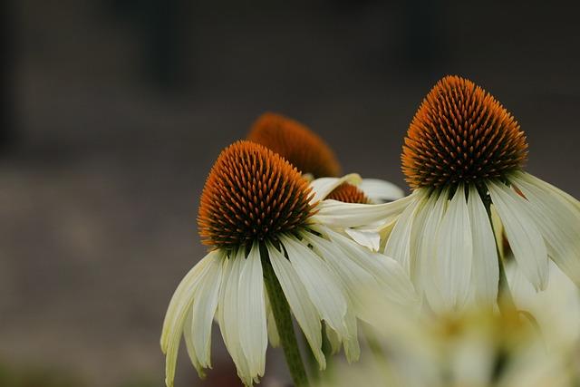 Coneflowers, Flowers, Rudbeckia, Garden, Petals, Bloom