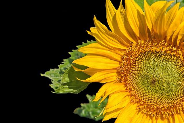 Sunflower, Flower, Bloom, Petals, Nature