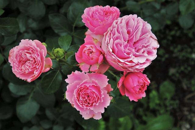 Roses, Rosebush, Garden, Petals, Nature, Bloom, Plant
