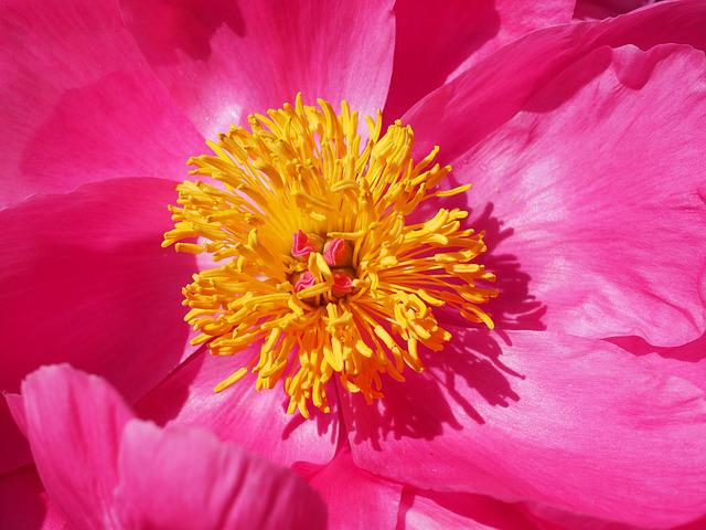 Peony, Blossom, Bloom, Stamen, Pink, Flower, Petals