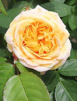 Filled Rose, Floribunda, Blossom, Bloom, Petals