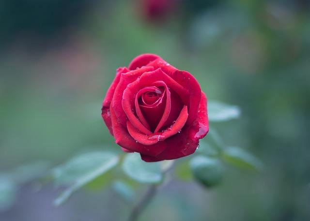 Bloom, Blossom, Dew, Flora, Flower, Macro, Petals, Rose