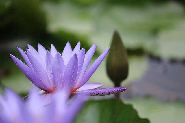 Flower, Lotus, Petals, Buds, Pond, Nature, Blooming