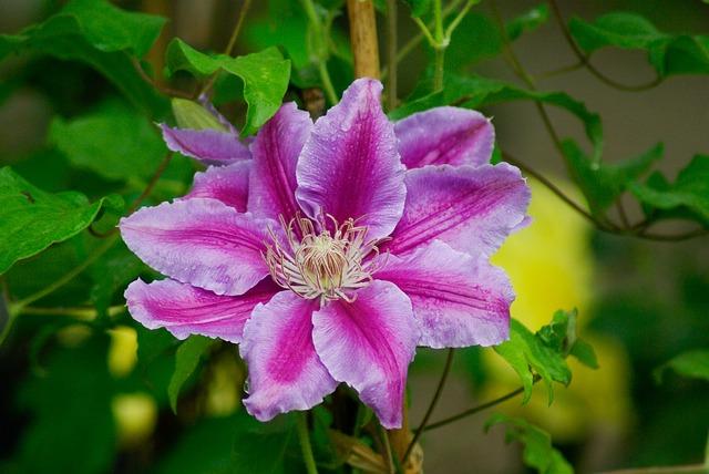 Flower, Clematis, Pistil, Petals