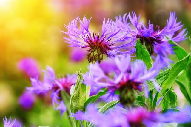 Cornflowers, Flowers, Purple Flowers, Petals