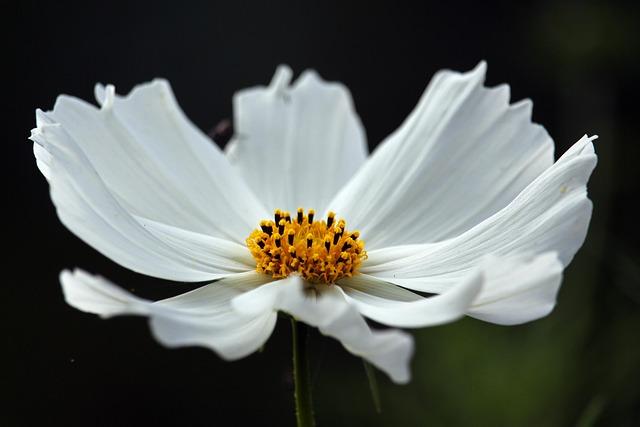 Cosmos, White Beauty, Cosmea, Nature, Garden, Petals