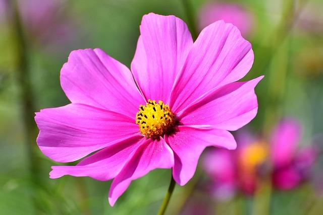 Cosmos, Flower, Cosmea, Pink Flower, Petals