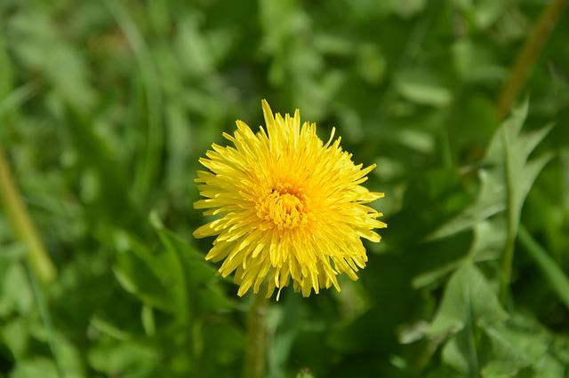 Dandelion, Yellow Flower, Petals, Prairie, Pre, Nature