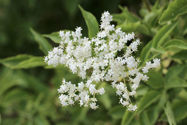 Elder, Petals, Elderflower