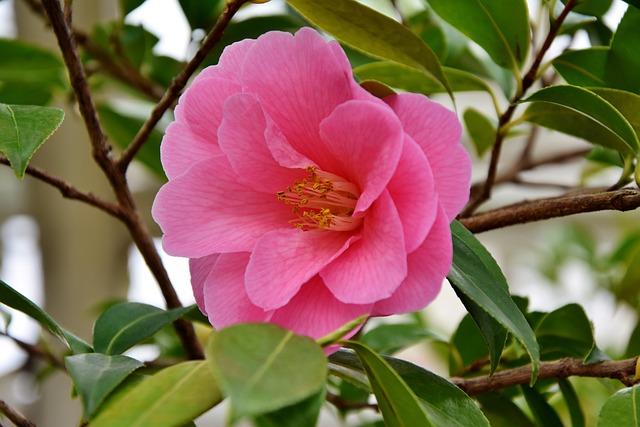 Flower, Blossom, Bloom, Pink Flower, Petals, Pistil