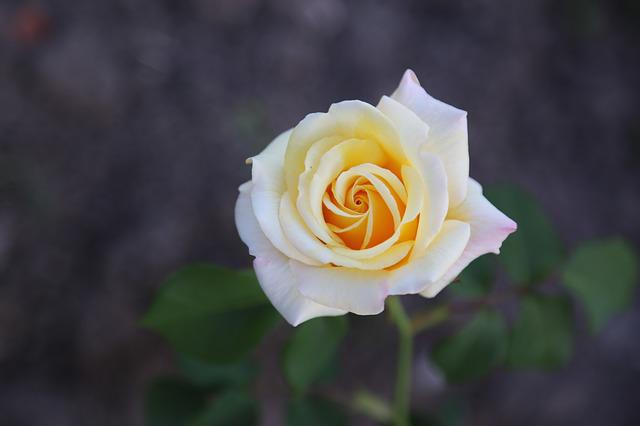 Rose, White Rose, Flower, Petals, Blooming, Plant