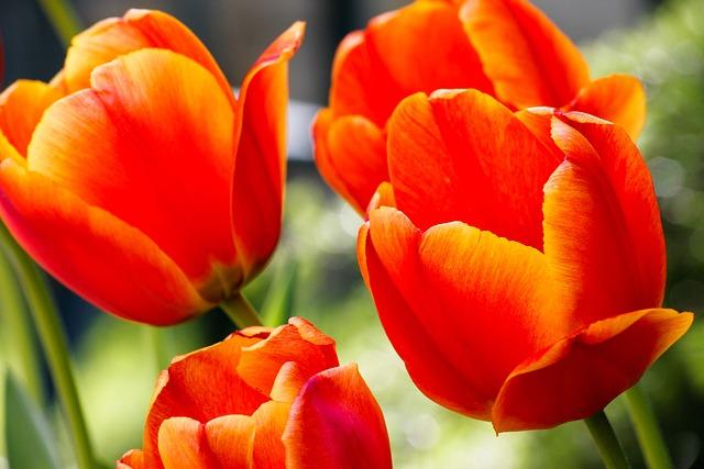 Tulip, Tulips, Garden, Flowers, Nature, Petals, Flower