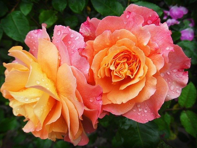 Flowers, Petals, Dew, Dewdrops, Droplets, Roses, Bloom