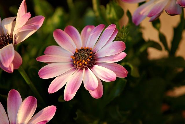 African Daisies, Flowers, Garden, Pink Flowers, Petals