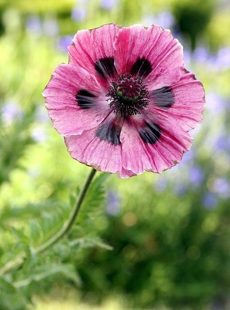 Poppy, Flower, Garden, Pink, Spring, Flowering, Petals