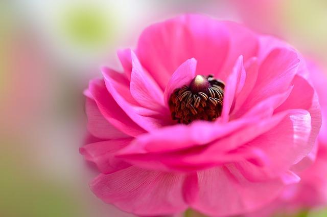 Ranunculi, Flower, Pink, Pink Flowers, Petals, Vivid