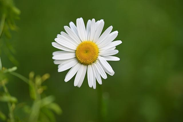 Daisy, Flower, Blossom, Bloom, Petals, Bloom, Plant