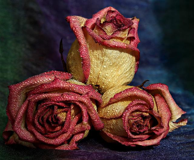 Rose, Red, Yellow, Drops, Flower, Petals, Three