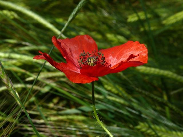 Flowers, Poppy, Macro, Nature, Spring, Red, Petals