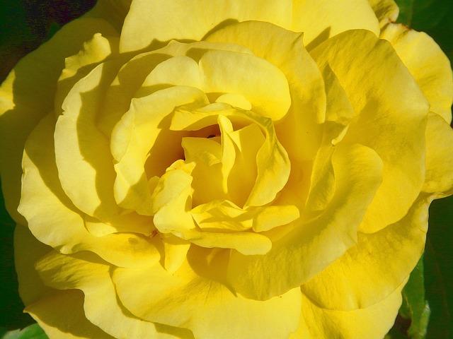 Rose, Rose Bloom, Yellow, Petals, Beautiful, Fragrance