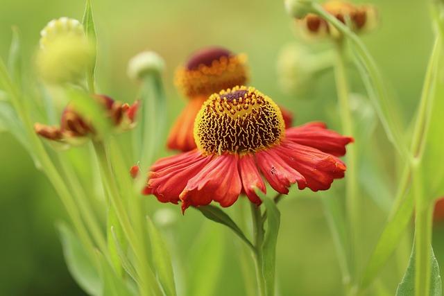 Sun Brews, Helenium, Petals, Flower, Orange, Blossom