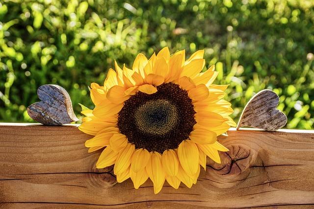 Sunflower, Still Life, Summer, Heart, Petals, Colorful