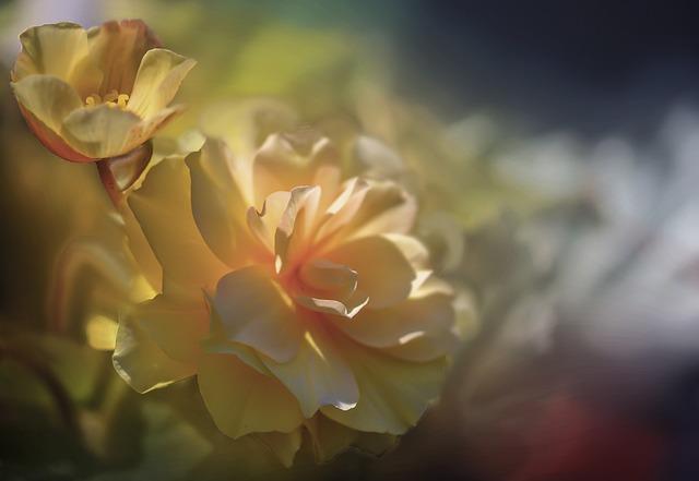 Flowers, Begonia, Yellow, Yellow Flowers, Petals