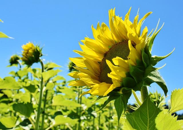 Sunflower, Yellow, Petal, Petals, Flower