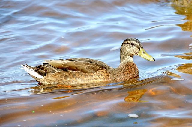Duck, Summer, Peterhof, Lake, Nature