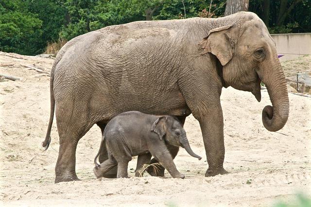 Planckendael, Elephant, Petit