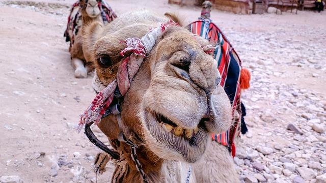 Camel, Desert, Petra, Jordan, Egypt, Camels, Morocco
