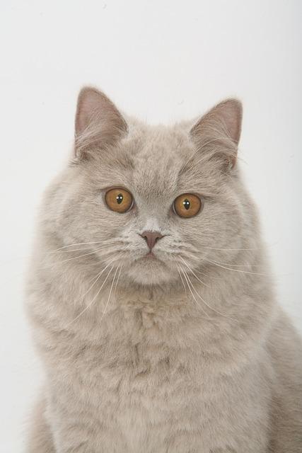 Face, British Short, Blue, Lick, Cat, Pets, Gray Fur