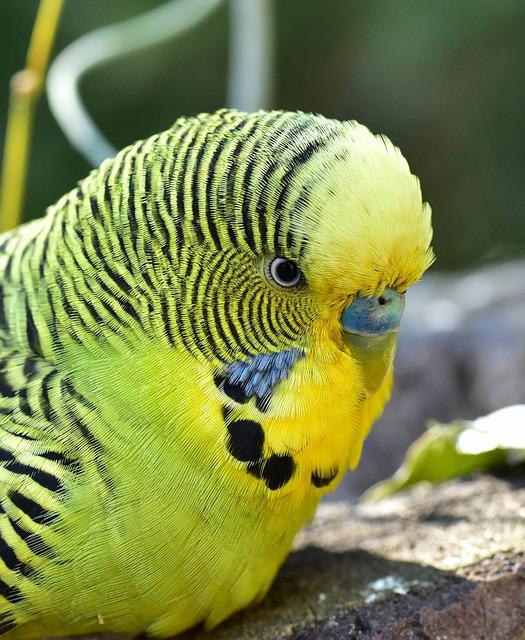 Bird, Budgie, Green, Parakeets, Pets, Animal World