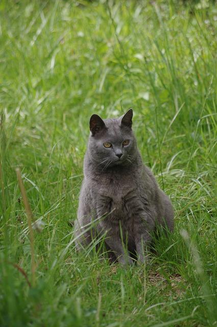 Cat, Carthusian, Pets
