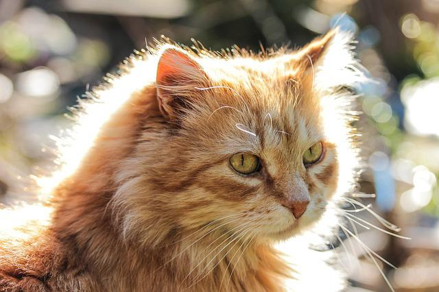 Cat, Animal, Backlight, Red Cat, My Favorite, Pets