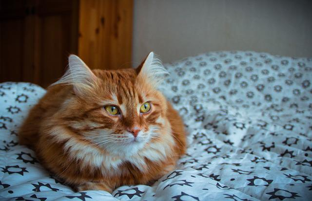 Cat, Pets, View, Red-headed Cat