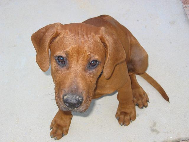 Dog, Pets, Ridgeback, Canine