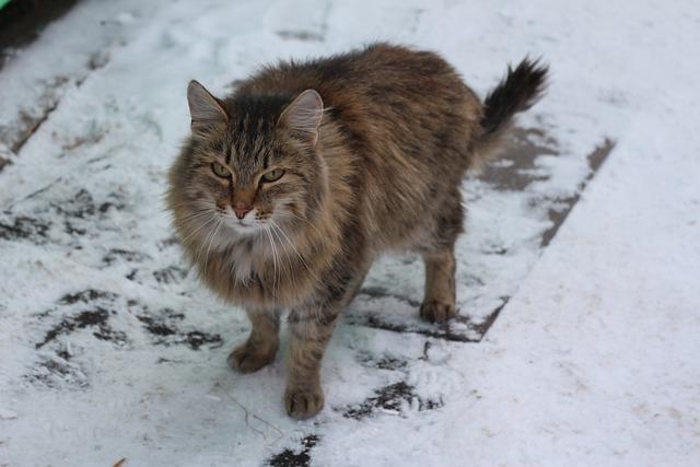 Cat, Siberian Cats, Snow, Pets, Siberian, Cute
