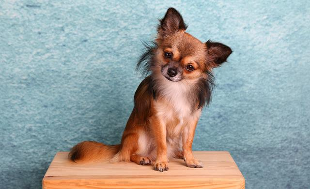 Chihuahua, Dog, Small, Pets, Cute, Animal