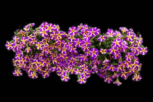 Flowers, Nature, Blossom, Bloom, Petunia, Isolated